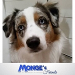 Monge australianshepherd mongeofficial mongesfriends dog cat petfood naturalpetfood
